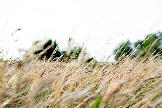 Oase-Tag: Wind im Kornfeld (1024x768px)